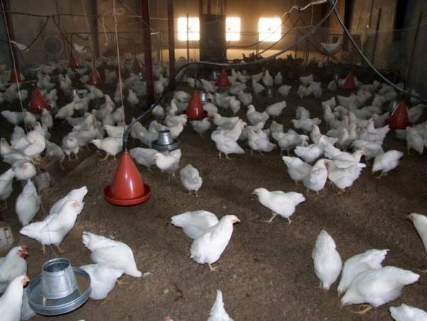 Chicken Vaccines Producing Deadly Virus, Image Credit : 4.bp.blogspot.com
