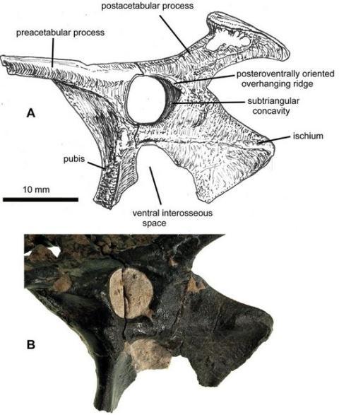 115 Million Year Old Fossils Of Flying Dinosaur, Pterosaur-4