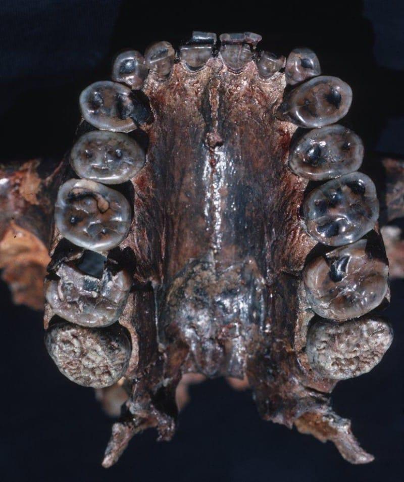 Teeth Of Nutcracker Man