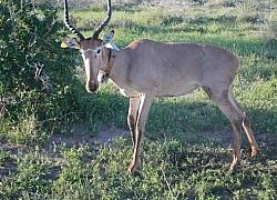 GPS Collars Placed On World's Rarest Antelopes